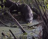 Otters on Alligator Alley.jpg