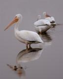 Pelican on Wading Bird Way with Better Beamer.jpg