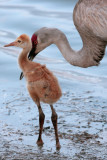 Sandhill Chick with mommy.jpg