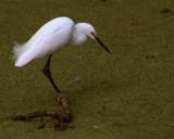 Egret in the marsh on Alligator Alley.jpg