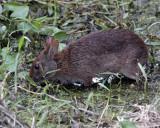Marsh Rabbit.jpg