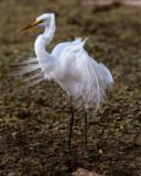 Egret on Marsh Rabbit Run.jpg