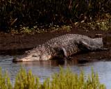 Big Daddy Gator Going in the Water.jpg