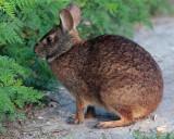 Rabbit on the trail.jpg
