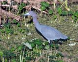 Little Blue Heron on Alligator Alley.jpg