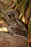Juvenile Barred Owl Hiding in the Palm Leaves 2.jpg