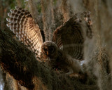Owl Fight.jpg