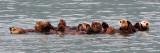 Sea Otter Panorama.jpg