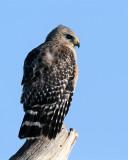 Red Shoulder Hawk at Circle B.JPG