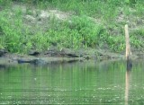 Can You Find the Big Gator?