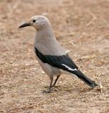 Crows, Jays, Larks & Swallows