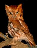 Owls & Goatsuckers