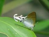 Hypolycaena amasa amasa
