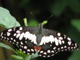 Papilio demoleus malayanus