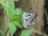 Striped Albatross - Appias libythea