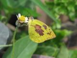 Lemon Emigrant Female