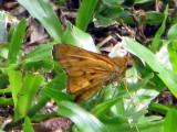 Ceylon Dartlet