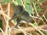 Papilio paris