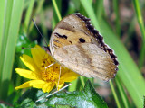 Yellow Pansy ventral view