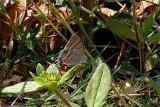 Hypolycaena pachalica