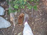 Foot-Sized Pine Cone (IMG_2234.JPG)