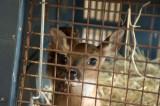 Shelter Deer
