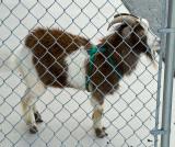 Shelter Goats