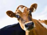 Cow 59