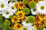 Daisies - Gold Green & White