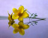 Yellow flower reflection