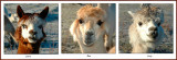 The Three Llamas