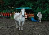White horse and sleigh