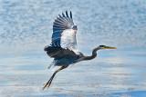 Blue  Heron legs extended