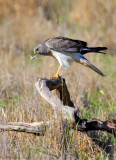 Northern Harrier (male) with a lizard