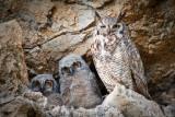 Great Horned Owl Family