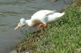 Launch Ducky Do