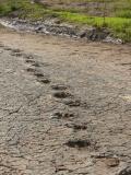 Dinosaur footprints (near Sousa)