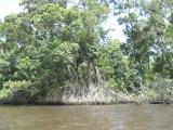 Mangrove forests in Lençóis Maranhences