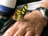 Butterfly eating salt