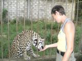 Tame jaguar at El Jaguar animal refuge, Puerto Maldonado