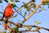 Northern Cardinal (Cardinalis cardinalis), Spring 2009 - Cardinal, Chicago Botanical Garden