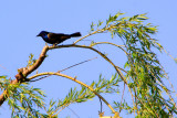Common Grackle (Quiscalus quiscula), Chicago Botanical Garden