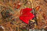 The deep red of fall, Maine