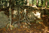Roots above ground, White Mountains, NH