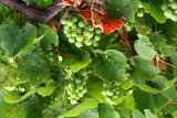 Fresh Grapes, Dubrovnik