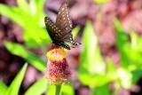 Butterfly, Chicago Botanic Garden