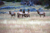 Elk at Dawn, West Entrance - Yellowstone National Park