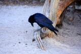 Raven - Yellowstone National Park