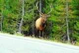 Elk on the road - Yellowstone National Park