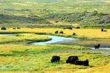 Bison in Hayden Valley - Yellowstone National Park